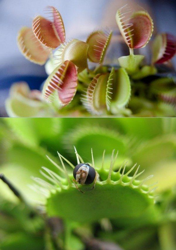Conheça e cultive estas exóticas plantas carnívoras - dionaea
