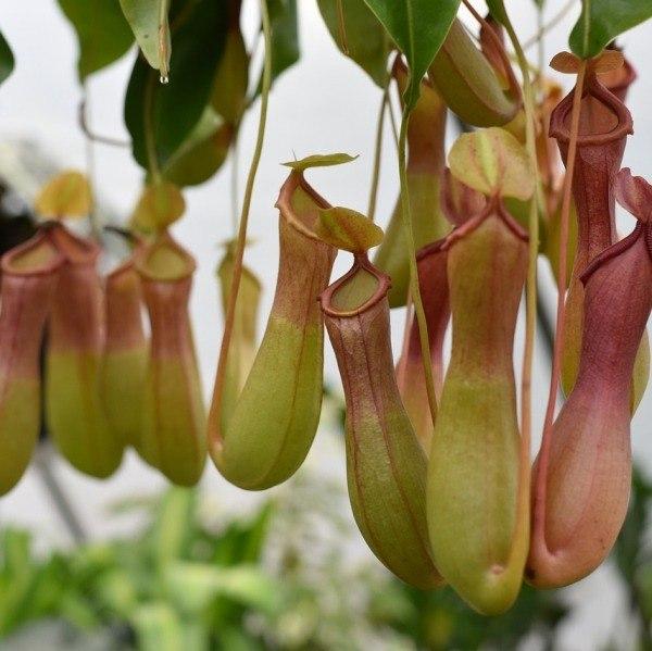 Conheça e cultive estas exóticas plantas carnívoras - nepenthes