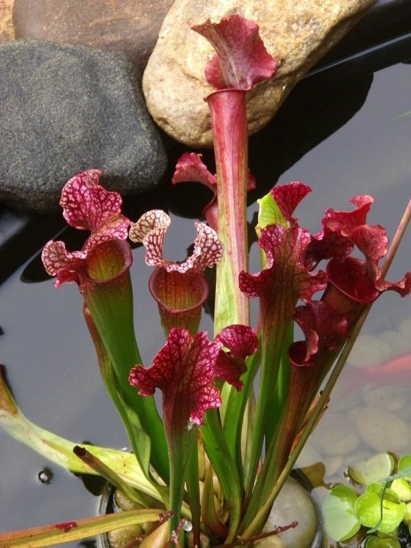 Conheça e cultive estas exóticas plantas carnívoras - sarracenia