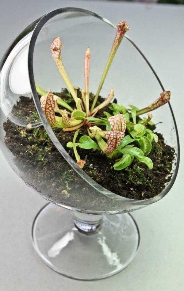 Conheça e cultive estas exóticas plantas carnívoras - terrarium